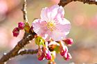 【本館】日本庭園にある河津桜の開花状況について(2月4日現在)