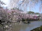4月上旬 三島大社の枝垂れ桜