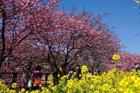 令和2年2月10日(月)~3月10日(火)河津桜まつり